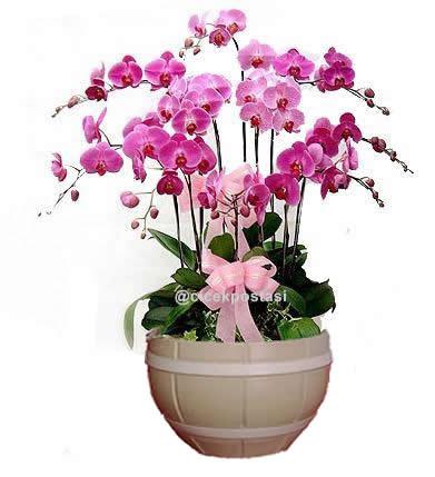 Özel saksıda dekore edilmiş 10 dallı pembe orkideler (70-90 cm)