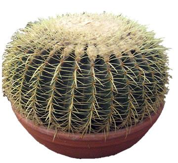 Kaktüs saksı çiçeği /Ortalama boy 40-50 cm ortalama çap 80 cm çok yıllık bir bitkidir ortalama yaşam süresi 1500-2000 yıl civarında şu anki alacağınız ürün 23 yıllık bitkidir.