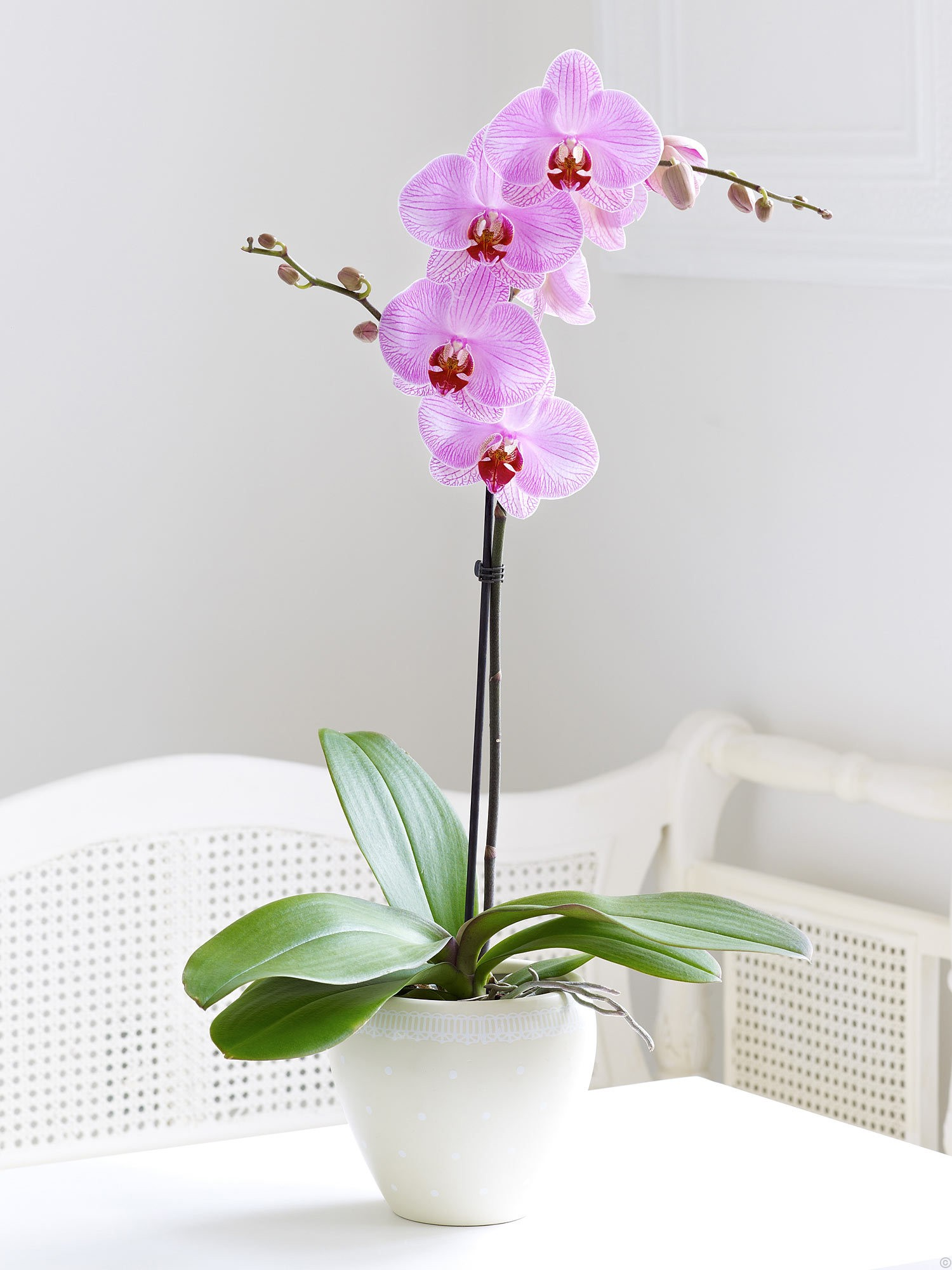 Pembe orkide /Beyaz seramik vazoda hazırlanmış tek dal Pembe orkide ortalama boy (70-90 cm)