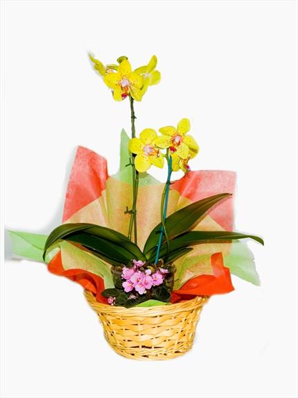 Çiçekli bitki orkide