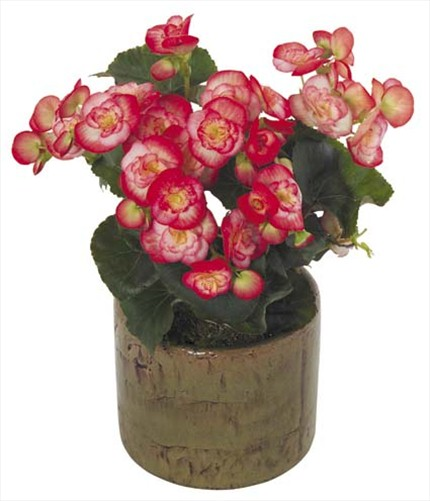 Begonya çiçekli bitki