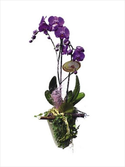Phalaenopsis Bitki orkide