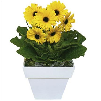 Çiçekli saksı bitkisi