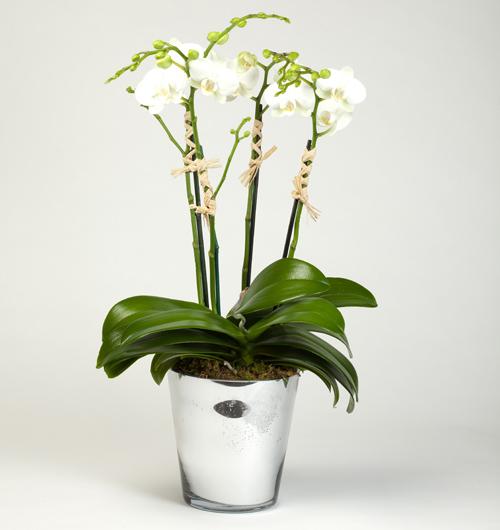 4 dallı beyaz orkide kalıcı bitki ortalama boy ( 70-90 cm)