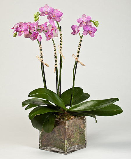 4 dallı pembe orkideler (70-90 cm)