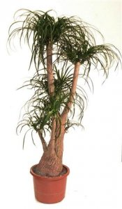 Nolina kalıcı saksı çiçeği boy (120-140'cm)