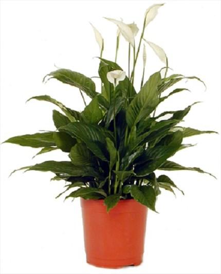 Spathiphyllum bitki aranjman