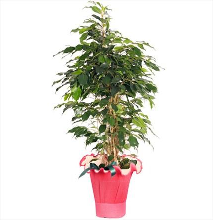Ficus benjamin bitkisi