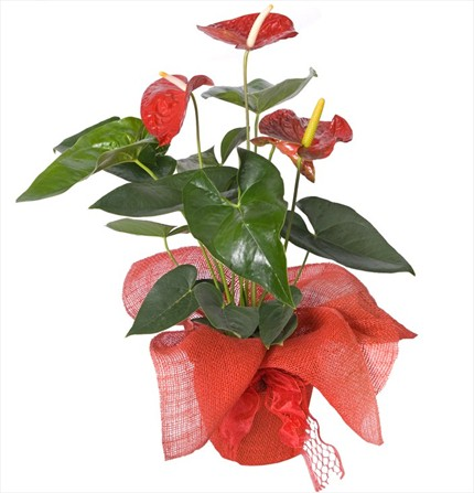 Anthurium bitkisi