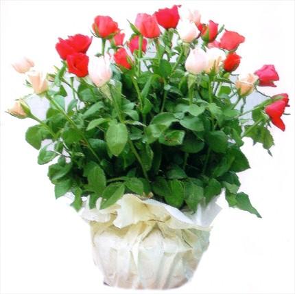 Kırmızı ve beyaz güllerden hazırlanmış sepet aranjman