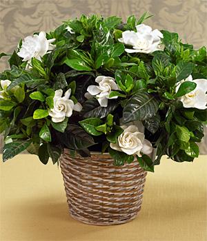 Kokulu gardenia kalıcı saksı çiçeği ortalama boy (40-60 cm)