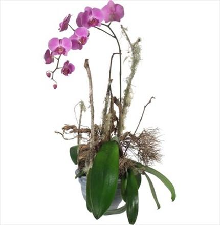 Bitki orkide