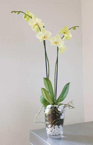 İki dallı bitki orkide