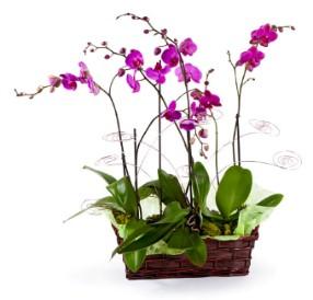 4 dallı pembe orkide