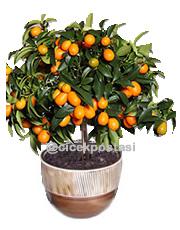 Bonsai croacado portakal kalıcı saksı çiçeği ortalama boy (40-60cm)