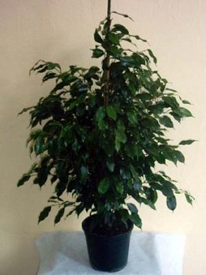 Ficus benjamin kalıcı saksı çiçeği boy (130-150'cm)