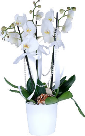 seramik vazoda 3 dallı beyaz orkide ortalama boy (70-90cm)  saksı çiçeği