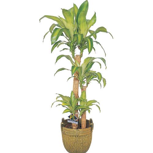 3 lü masengena saksı çiçeği ortalama boy (110-140cm)