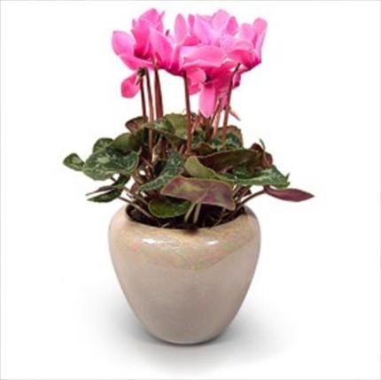 Çiçekli bitki sıklamen