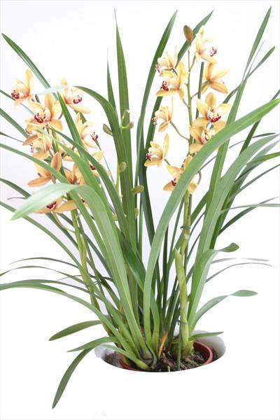 Cymbidium bitki orkide