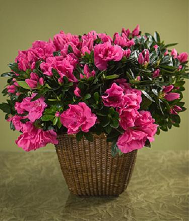 Açelya kalıcı saksı çiçeği ortalama boy (40-60cm)