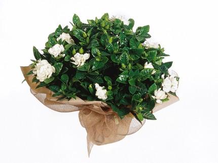Bitki gardenya