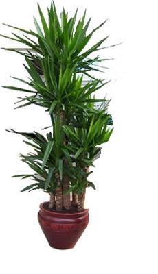 Özel küp saksıda 7 köklü yukka kalıcı saksı çiçeği ortalama boy (200-230 cm)