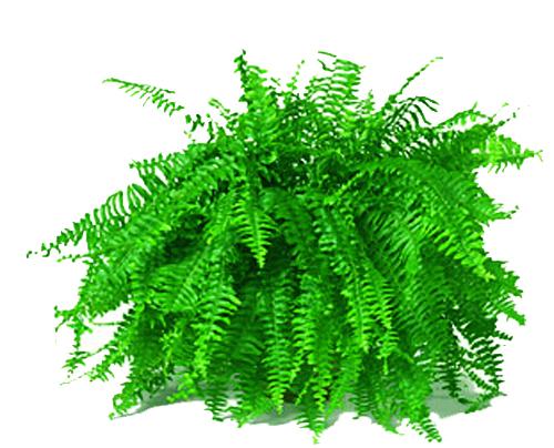 Aşk Merdiveni (Nephrolepis 40-60cm )Bitkisi