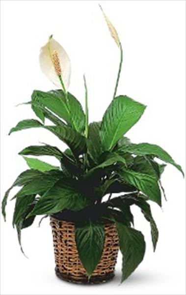 Spathiphyllum bitki