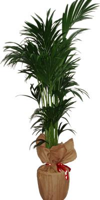 Kentya kalıcı saksı çiçeği bitki salon bitkisi ortalama boy (170-190 cm)
