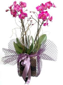 Kare  vazoda 2 dallı pembe orkideler (70-90 cm)