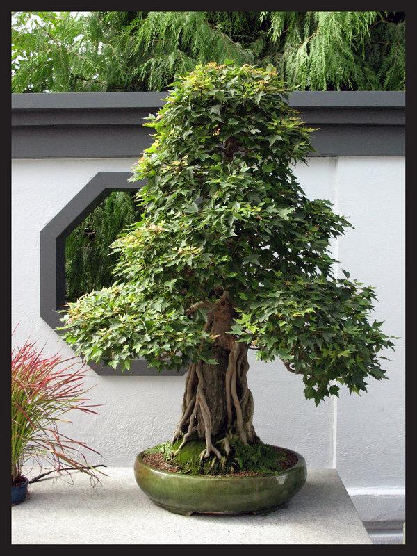 Özel saksı çiçeği bonzai ortalama boy (170-200cm) ortala yaş (25-30)