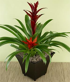 İkili guzmania bitki aranjman 40-70cm