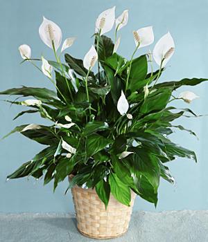 Spatifilyum kalıcı saksı çiçeği ortalama boy (50-70cm)