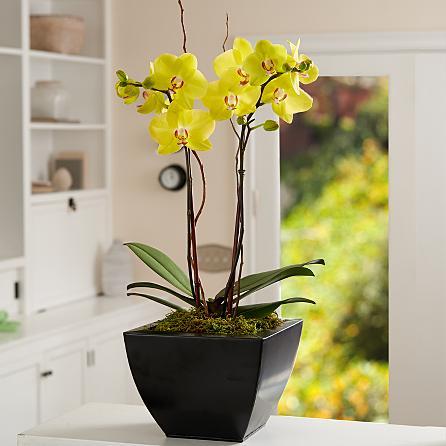 Özel seramik vazoda 2 dallı sarı orkideler (70-90 cm)
