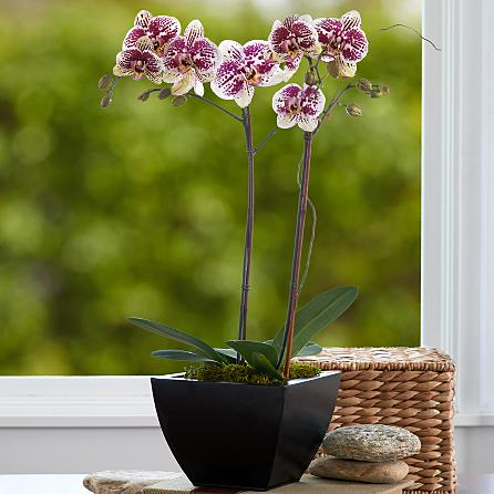 Özel seramik vazoda 2 dallı ebruli orkideler (70-90 cm)