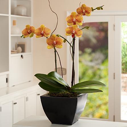 Özel seramik vazoda 2 dallı sarı ebruli  orkideler (70-90 cm)