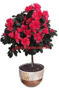 Küp saksıda dekore edilmiş çok özel baston cins açelya saksı çiçeği (70-90cm)