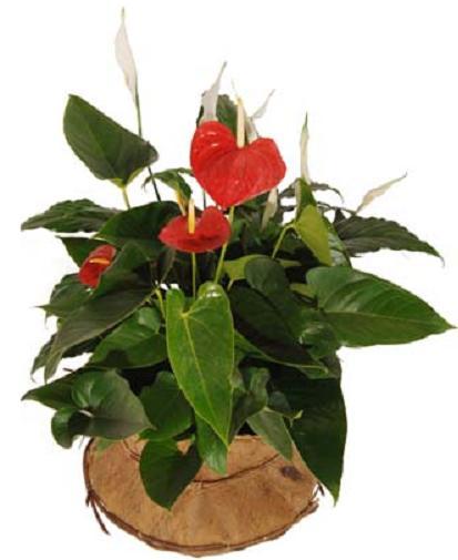 Bitki antorium