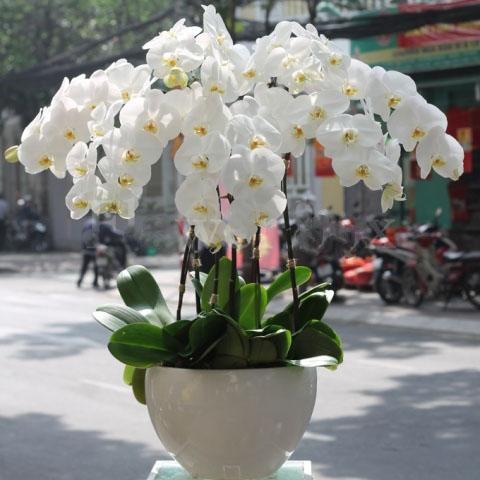 Özel beyaz orkideler / 6 dal özel ithal orkideler ile dekore edilmiş bitki aranjman ortalama boy 70-90 cm kalıcı saksı çiçeği