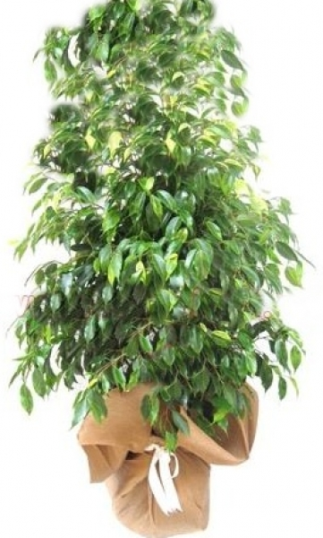 Ficus (yeşil yapraklı) Benjamin saksı çiçeği boy (160-190 cm)