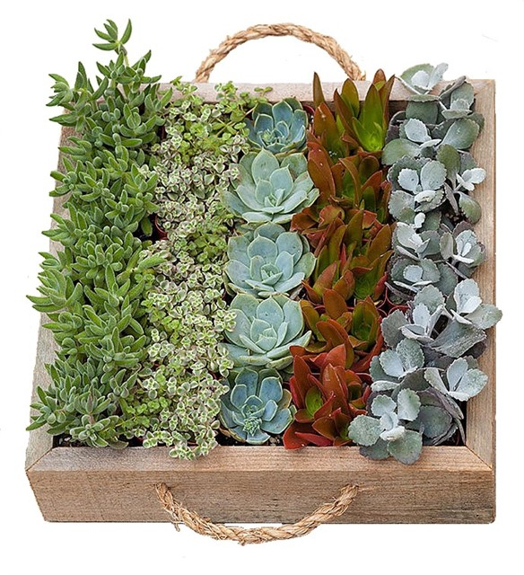 Ahşap saksıda suculent konsept / Kulplu ahşap kasada 25 adet suculent ile hazırlanmış teraryum bitki aranjman kalıcı saksı bitkisi