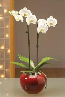 Cam fanus içerisine kırmızı taşlarla hazırlanmış 2 dallı orkide  (70-90 cm) / Ürünler : 1 adet şeffaf akvaryum cam 1 adet 2 dallı orkide 1.5 paket kırmızı kum