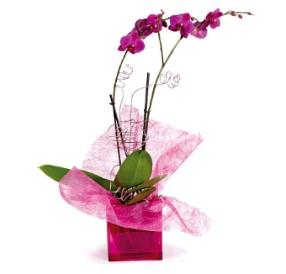 2 dallı pembe orkide