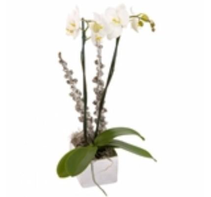 2 dallı Phalaenopsis orkide