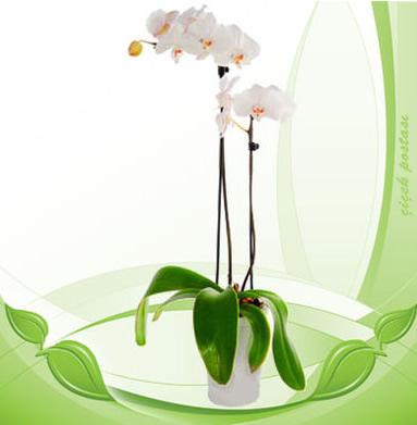 Beyaz seramik vazoda 2 dallı orkide (90-100 cm)