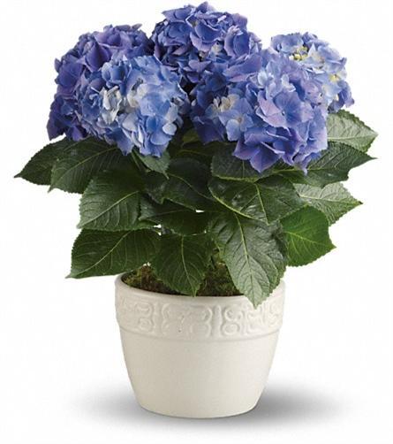 Ortanca saksı çiçeşi ortalama boy (60-70cm farklı renk seçenekleri mevcuttur)