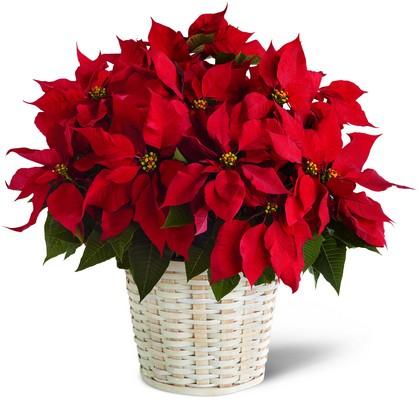 Ponsetya saksı çiçeği / ponsetya veya atatürk çiçeği veya yılbaşı çiçeği de denir ancak gerçek adı ponsedya çok yıllık saksı çiçeği ortalama boy 50-70 cm çok gösterişli salon ve ofis çiçeğidir