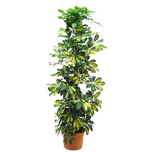 Şeflora saksı çiçeği ortalama boy (110-140cm)