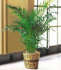 Arokeria boylu salon bitkisi ortalama boy (210-230 cm)